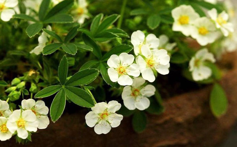 Лапчатка белая — уникальное растение: применяется при всех заболеваниях щитовидной железы